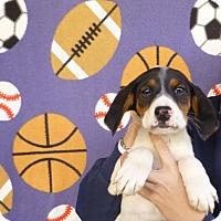 Adopt A Pet :: Taz - Oviedo, FL