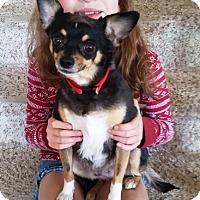 Adopt A Pet :: Scotti - Radford, VA
