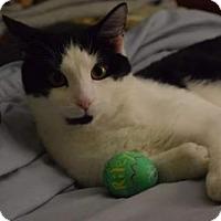 Domestic Mediumhair Cat for adoption in Fredericksburg, Virginia - Riley