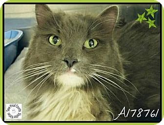 Norwegian Forest Cat Cat for adoption in Glendale, Arizona - Innsbruck
