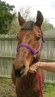 Quarterhorse Mix for adoption in Hitchcock, Texas - Rune