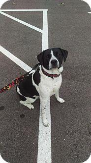Boxer/Beagle Mix Dog for adoption in Mt. Gilead, Ohio - Daisy