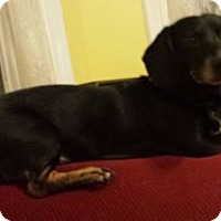 Dachshund Dog for adoption in Iroquois, Illinois - Bullet