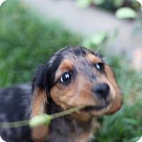 Dachshund/Chihuahua Mix Puppy for adoption in Lodi, California - Winston