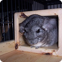 Chinchilla for adoption in Avondale, Louisiana - Caitin