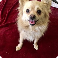 Pomeranian Mix Dog for adoption in Van Nuys, California - Lizzie