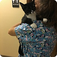 Domestic Shorthair Cat for adoption in Lakeland, Florida - Becky