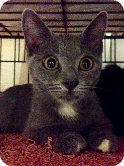 American Shorthair Kitten for adoption in Brooklyn, New York - Marie