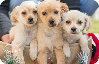 Spaniel (Unknown Type)/Dachshund Mix Puppy for adoption in Inland Empire, California - MANNY