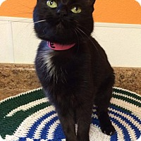 Domestic Shorthair Cat for adoption in Rockport, Texas - Squeeky