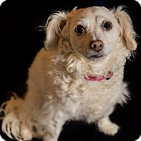 King Charles Spaniel/Poodle (Miniature) Mix Dog for adoption in San Francisco, California - Maggie - Foster/Adopt