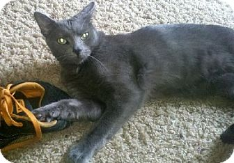 Russian Blue Cat for adoption in Sterling Hgts, Michigan - Smokey