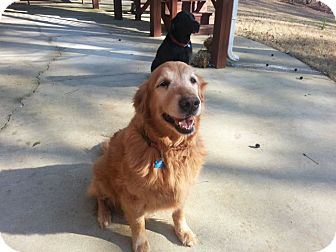 Golden Retriever Dog for adoption in Knoxvillle, Tennessee - Baylee