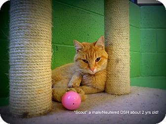 Domestic Shorthair Cat for adoption in Gadsden, Alabama - Scout