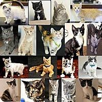Domestic Shorthair Cat for adoption in Minneapolis, Minnesota - Cat/Kitten Fosters Needed