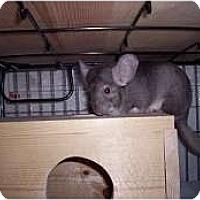 Adopt A Pet :: Hermoine - Avondale, LA