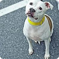 Adopt A Pet :: Sheba - Shavertown, PA