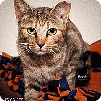 Domestic Mediumhair Cat for adoption in Fort Mill, South Carolina - Emily 5017
