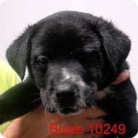 Adopt A Pet :: Blaze - baltimore, MD