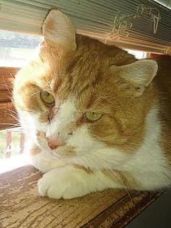 Domestic Shorthair Cat for adoption in Delmont, Pennsylvania - Hank the Tank