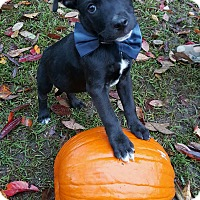 Adopt A Pet :: Butch in CT-pending adoption - East Hartford, CT