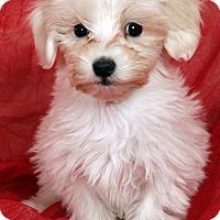 Adopt A Pet :: Jaden Shih ton - St. Louis, MO