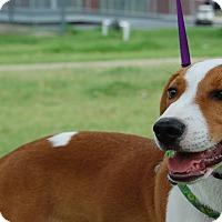 Adopt A Pet :: Daisy Beagle - Memphis, TN