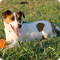 Adopt A Pet :: AJ in Denton - Dallas/Ft. Worth, TX