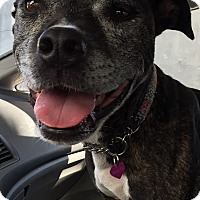 Staffordshire Bull Terrier Mix Dog for adoption in Los Angeles, California - MAVEN
