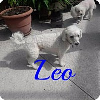 Maltese/Poodle (Toy or Tea Cup) Mix Dog for adoption in Maitland, Florida - Leo