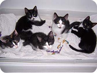 Domestic Shorthair Kitten for adoption in Merrifield, Virginia - Toby