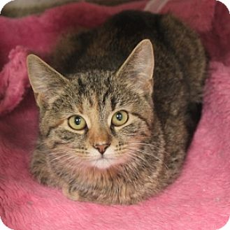 Domestic Shorthair Kitten for adoption in Naperville, Illinois - Amy