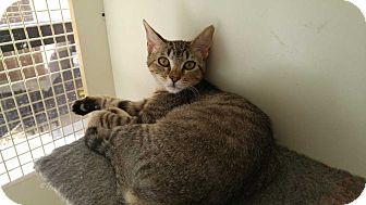 Domestic Shorthair Kitten for adoption in Dallas, Texas - Nick