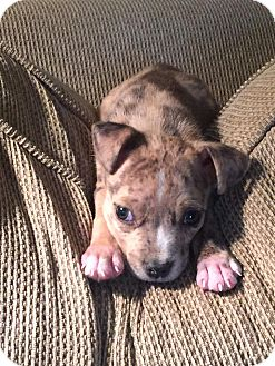 Australian Shepherd Mix Puppy for adoption in Harrisburg, Pennsylvania - Cisco