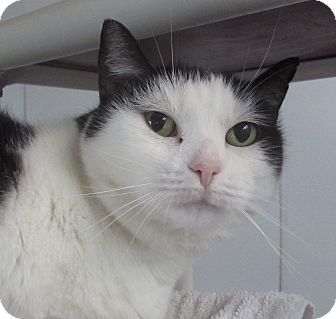 Domestic Shorthair Cat for adoption in Jackson, Missouri - BOBBI SUE