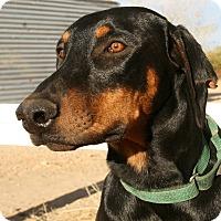 Doberman Pinscher Dog for adoption in Phelan, California - Turner