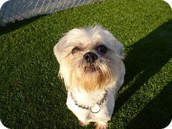 Shih Tzu Dog for adoption in Cocoa, Florida - Reggie (Cocoa Center)