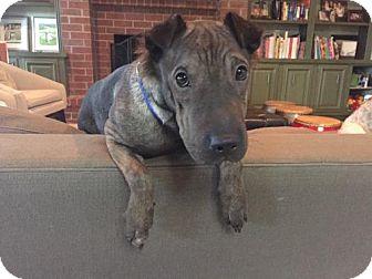 Shar Pei/Bull Terrier Mix Dog for adoption in ROSENBERG, Texas - Hannah