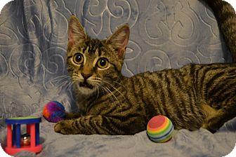 Domestic Shorthair Kitten for adoption in Oyster Bay, New York - Lisa
