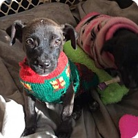 Pit Bull Terrier Mix Puppy for adoption in Brooksville, Florida - Buster