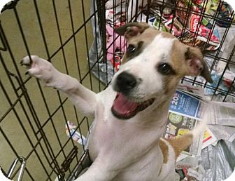 Boxer Mix Puppy for adoption in Ringoes, New Jersey - Cole