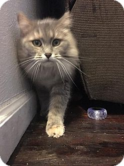 Domestic Longhair Cat for adoption in Middletown, Ohio - Molly