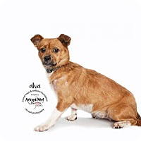 Adopt A Pet :: ALVA - Sherman Oaks, CA
