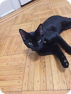Domestic Shorthair Kitten for adoption in New York, New York - Jayden