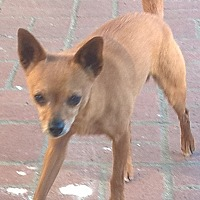 Adopt A Pet :: Andrey - Aqua Dulce, CA