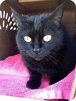 Domestic Shorthair Cat for adoption in Irvine, California - Cagney