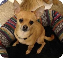 Chihuahua Mix Dog for adoption in Mesa, Arizona - Valentino