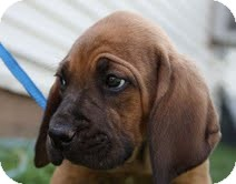 Boxer/Hound (Unknown Type) Mix Puppy for adoption in Staunton, Virginia - Dibble
