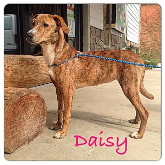 Plott Hound Mix Dog for adoption in Franklin, North Carolina - DAISY