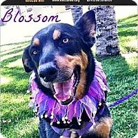 Adopt A Pet :: Blossom